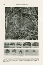 Snowshoe rabbit, from the Journal of Mammalogy