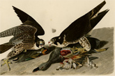 Great-footed Hawk (common name: Peregrine Falcon). Plate Caption: Great-footed Hawk, Falco Peregrinus. Gmel, Male, I. Female, 2. Green-winged Teal and Gadwal. Plate Number: XVI (16).