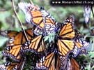 A swarm of monarch butterflies, from Monarch Watch