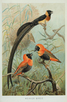 Weaver birds, illustration from Richard Lydekker's The new natural history (189-). NNH-41